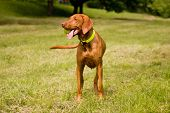 stock photo of vizsla  - The Hungarian Vizsla love running around the field with the ball