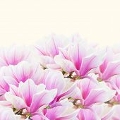 picture of magnolia  - brunch with  blooming  pink magnolia   flower buds border on white background - JPG