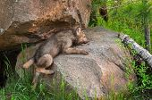 picture of lupus  - Grey Wolf Pup  - JPG