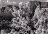 picture of superstition mountains  - Cholla shining in the setting sun at the Superstion Mountians near Phoenix Arizona in black and white - JPG