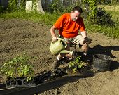 pic of tomato plant  - A organic farmer watering a tomato plant after planting it - JPG