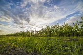 stock photo of apple orchard  - Nice and juicy apple orchard in the evening at sunset - JPG