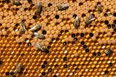 picture of bee keeping  - In the honeycomb frames are the larvae of bees and pollen - JPG