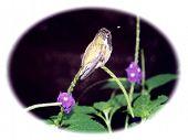Hummingbird At Rest poster