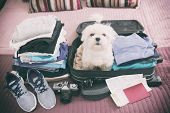 Small dog maltese sitting in the suitcase or bag wearing sunglasses and waiting for a trip poster