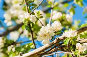 Spring Flowers Of Blooming Apple Tree. Spring Landscape With White Spring Apple Flowers Under Spring poster