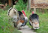 picture of turkey-cock  - Two male turkey on green village courtyard - JPG