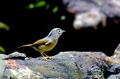 picture of babbler  - White - JPG