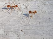 Two Fire Ants With Shadow Walking And Follow The Other To Work On White Vintage Background Show Busi poster