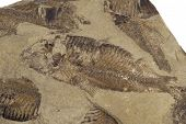 stock photo of paleozoic  - fossilised fish in a bed of sandstone - JPG