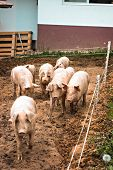 Pigs On The Farm. Happy Pigs On Pig Farm. Piglets poster
