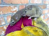 Mice In Hand. A Ordinary House Mice poster