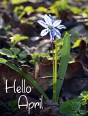 Hello April Greeting Card With Blue First Spring Flower.blue Scilla Flower (scilla Siberica,squill)  poster