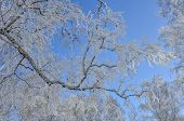 Birch Tree Branch With Hoarfrost On Blue Winter Sky. Frozen Branch On Blue Sky Background. Winter La poster