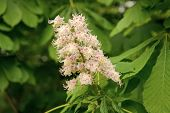 All Flowers Are Beautiful In Their Own Way. Cluster With White Chestnut Flowers. Chestnut Blossom Wi poster