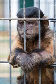 An Unhappy Capuchin Monkey Captive Behind The Bars Of A Cage Sits With Arms Crossed Like A Prison In poster