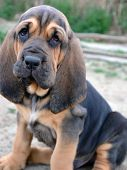 foto of bloodhound  - Photo of Bloodhound puppy dog with sad hound look - JPG