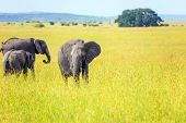 Elephants are the largest land mammals. Herd of elephant of the African savannah.  The famous Masai  poster