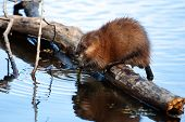 stock photo of muskrat  - Muskrat eating while standing on a log in the water - JPG