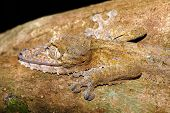 Giant Night Animal Leaf-tailed Gecko, Uroplatus Fimbriatus, Nosy Mangabe Park Reserve, Madagascar. G poster