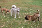 Cute Siberian Husky, Bullmastiff Puppy And Amstaff Puppy Are Playing In The Autumn Park. Pet Animals poster