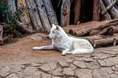 Arctic Wolf Or Polar White Wolf, Is A Subspecies Of The Gray Wolf, A Mammal Of The Family Canidae. A poster