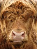 foto of highland-cattle  - Telephoto view of the face of a highland cow - JPG