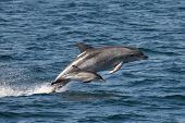 stock photo of chase  - Rare sighting of a Bottlenose dolphin escorting a Common dolphin calf on a high speed chase