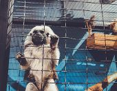 A Cotton Top Tamarin In Closeup, Tropical Critically Endangered Monkey From Colombia In The Cage. poster