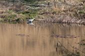 Grey Heron Standing In The Calm Lake Surrounded With Green Grass And Reeds. Sunny Day, Reflections I poster