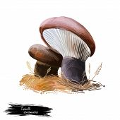 Tapinella Atrotomentosa, Roll Rim Or Velvet Footed Pax Mushroom Closeup Digital Art Illustration. Bo poster
