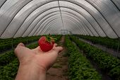 The Strawberry In A Man Palm In A Garden, Fresh Organic Strawberries Organic From Natural Farms, Saf poster