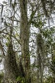 Tree Growing In A Swampy Area, With Moss-draped Epiphytes Such As Spanish Moss Surviving Over Its Tr poster