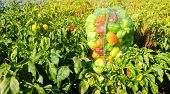 Sacks Of Fresh Bell Pepper In The Field. Eco-friendly Products. Agriculture And Farming. Harvest. Ha poster