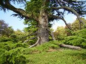 Ancient Cedar-of-Lebanon Tree