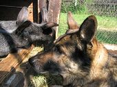 picture of rabbit hutch  - The Alsatian dog and rabbits looking closely faces to face - JPG
