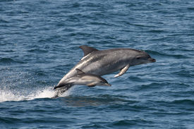 stock photo of bottlenose dolphin  - Rare sighting of a Bottlenose dolphin escorting a Common dolphin calf on a high speed chase  - JPG