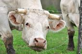 image of charolais  - cow with horns cut from his head between the barbed wire its meadow - JPG