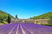 foto of row trees  - Abbey of Senanque and blooming rows lavender flowers - JPG