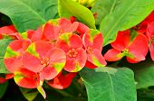 stock photo of poi  - Red Poi Sian flowers  for you to use everything - JPG