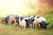 foto of pot bellied pig  - vietnam pig - JPG