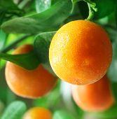 foto of tangerine-tree  - Tangerines on a citrus tree close up - JPG