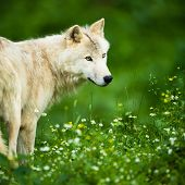 stock photo of lupus  - Arctic Wolf  - JPG