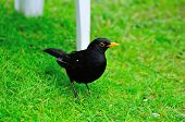 Male Blackbird On A Lawn.