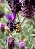 stock photo of devonshire  - Honey bee pollinating Spanish Lavendar in Northern Nevada on June 13 2009. ** Note: Slight graininess, best at smaller sizes - JPG
