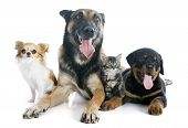 pic of belgian shepherd  - malinois rottweiler kitten and chihuahua on a white background - JPG