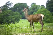 image of bambi  - Female Red Dear in the Richmond park of England