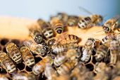 stock photo of beehives  - Detail of bees swarming on honeycomb frame with queen bee in center - JPG