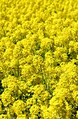image of rape-field  - The Rape blossoms - JPG