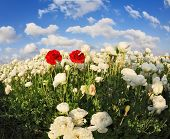 pic of buttercup  - Field of white garden buttercups - JPG